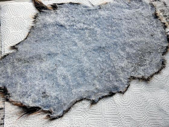 ミョウバンと食塩をヌートリアの皮の内側にすり込む