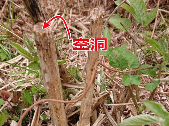 枯れたウドの茎