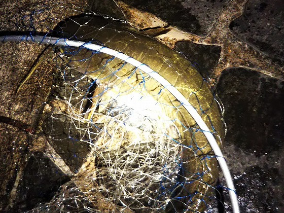 夜に釣った一匹目のナマズ