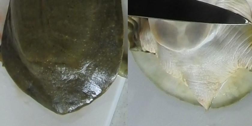 スッポンのメスの尻尾